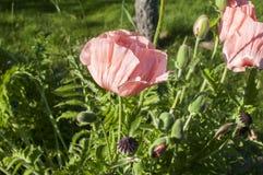 Pink poppy flower closeup stock photos