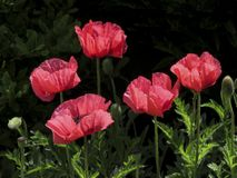 A pink Oriental Poppy papaver orientale stock images