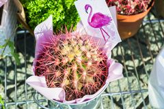 Pink cactus. Pink original cactus for decoration royalty free stock images