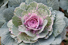 Pink ornamental cabbage. On the lawn Royalty Free Stock Images