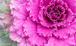 Pink Ornamental Cabbage Plant Stock Photography