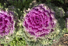 Pink Ornamental kale  with  crinkled leaves. Brilliant  crinkly leaves of ornamental kale brassica oleracea Acephala add striking color to the winter garden as Stock Photos
