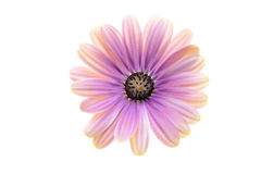 Pink Osteospermum Daisy or Cape Daisy flower Royalty Free Stock Images
