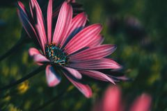 Pink osteospermum ecklonis flower royalty free stock images