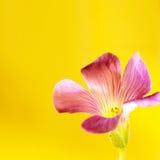 Pink oxalis Stock Photos