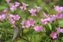 Pink Oxalis. A close up of pink oxalis flower, captured under natural environment with simple background. Two isolated beautiful flower Royalty Free Stock Photo