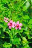 Pink oxalis. Closeup Pink oxalis in garden Royalty Free Stock Photos