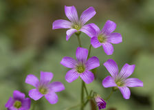 Pink oxalis  in garden Royalty Free Stock Photography