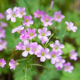 Pink oxalis(Oxalis corymbosa) Royalty Free Stock Photos