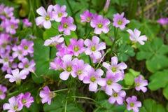 Pink oxalis(Oxalis corymbosa) Stock Image
