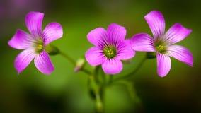 Pink oxalis oxalis corymbosa Stock Photos