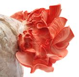 Pink oyster mushroom Royalty Free Stock Image