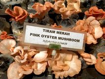 Pink oyster mushroom. Has a vibrant pink color and grows in tropical region. Some people call it with other names such as Flamingo Oyster, Salmon Oyster or stock images