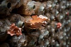 Pink oyster mushroom Stock Photo