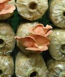 Pink oyster mushroom (Pleurotus djamor) on spawn bags Stock Image