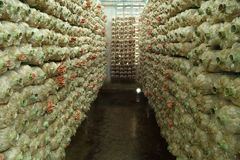 Pink oyster mushroom (Pleurotus djamor) on spawn bags Stock Photo