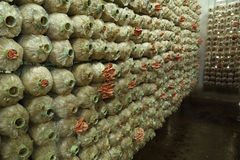 Pink oyster mushroom (Pleurotus djamor) on spawn bags Royalty Free Stock Photos