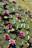 Pink Padded Pond. Lilly pads with pink blossoms float in a flower-farm pond in Washington state Stock Photos