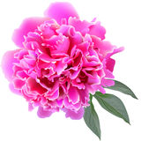 Pink paeonia flower with leaves Stock Images