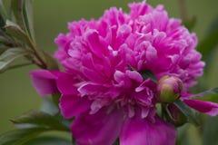 Pink paeonia Stock Photos