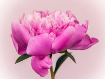 Pink paeony flower Stock Photo
