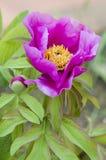 Pink Paeony flower Stock Image