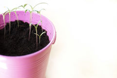 Pink Pail Potted Plant Growing Green Spring Time Stock Photo