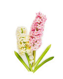 Pink pale  hyacinth on white background Stock Photo