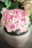 Pink pale Hydrangea flowers in pot, close up Stock Photography