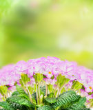 Pink pale primula blooming on green nature background Stock Images