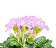 Pink pale primula flowers with green leaves, isolated on white Royalty Free Stock Photo