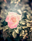 Pink pale rose in flowers garden, close up Royalty Free Stock Images