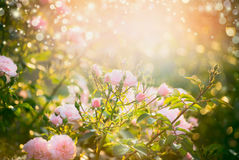 Pink pale roses bush over summer garden or park nature background. Roses garden, outdoor with sunshine and bokeh Royalty Free Stock Image