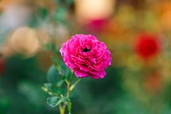 Pink rose bush with flowers and green buds stock images