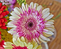 Pink and pale white Gerber daisy Stock Photography