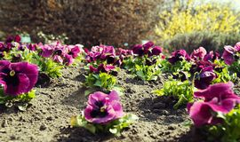 Pink pansies in the garden. stock photos