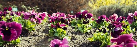 Pink pansies in the garden -panorama. royalty free stock photo
