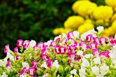 Pink pansy disambiguation garden flower Stock Image