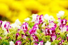Pink pansy disambiguation garden flower Stock Photo