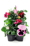 Pink pansy flower seedlings in a tray box on isolated background Royalty Free Stock Photo