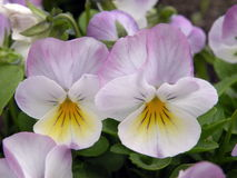 Pink pansy flowers Royalty Free Stock Photo