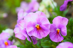 Pink Pansy Flowers on Flower Bed Stock Images