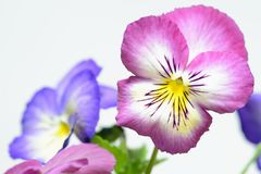Pink pansy. Pink and violet pansy isolated stock photos