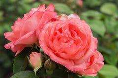 Pink Panther rose Stock Photo