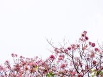 Pink Pantip Flower. Blossom blackground Royalty Free Stock Images