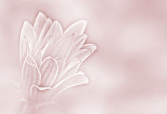 Pink paper daisy background royalty free stock image