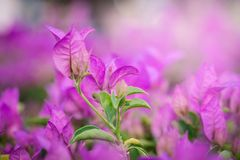 Pink paper flower, bougainvillea shiny flowers under morning sunlight on blur background Royalty Free Stock Images