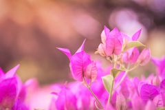 Pink paper flower, bougainvillea shiny flowers under morning sunlight on blur background Stock Image