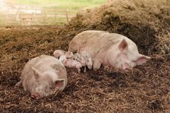 rural family idyll with pigs royalty free stock image