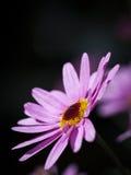 Pink Paris Daisy Royalty Free Stock Photography